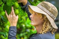 Farmer που ελέγχει τα λεμόνια Στοκ φωτογραφία με δικαίωμα ελεύθερης χρήσης