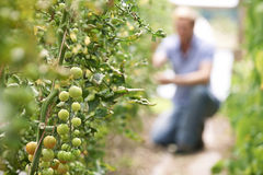 Farmer που ελέγχει τις τοματιές στο θερμοκήπιο Στοκ εικόνες με δικαίωμα ελεύθερης χρήσης