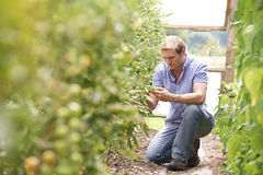 Farmer που ελέγχει τις τοματιές στο θερμοκήπιο Στοκ Φωτογραφίες