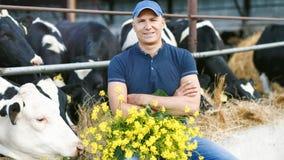 Farmer που λειτουργεί στο αγρόκτημα με τις γαλακτοκομικές αγελάδες απόθεμα βίντεο