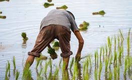 Farmer που μεταμοσχεύει τα σπορόφυτα ρυζιού στον τομέα ορυζώνα Στοκ Εικόνες