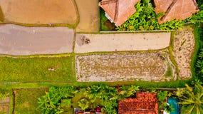 Farmer που οργώνει έναν ορυζώνα ρυζιού Στοκ Εικόνα