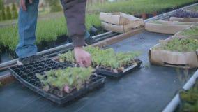 Farmer που παίρνει το δίσκο σποροφύτων στο θερμοκήπιο φιλμ μικρού μήκους