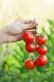Farmer που παρουσιάζει οργανικές ντομάτες Στοκ Εικόνες