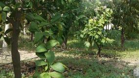 Farmer που ποτίζει το χώμα/τη συγκομιδή/τη δενδροκηποκομία/τη γεωργία/την καλλιέργεια απόθεμα βίντεο