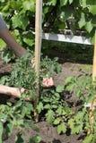 Farmer που προετοιμάζει τις ντομάτες 30692 εγκαταστάσεων υποστηρίξεων Στοκ Φωτογραφίες