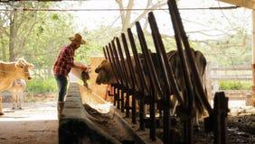 Farmer που ταΐζει το άτομο αγροτών ζώων στην εργασία στο αγρόκτημα Στοκ Φωτογραφίες