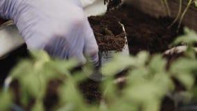Farmer που φυτεύει τα νέα σπορόφυτα των ντοματών φιλμ μικρού μήκους