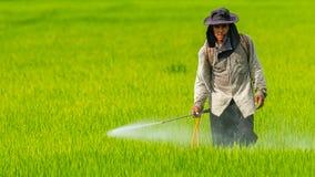 Farmer που ψεκάζει το φυτοφάρμακο στον τομέα ρυζιού χωρίς οποιοδήποτε χημικό προστατευτικό κοστούμι στοκ εικόνες