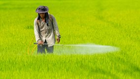 Farmer που ψεκάζει το φυτοφάρμακο στον τομέα ρυζιού χωρίς οποιοδήποτε χημικό προστατευτικό κοστούμι στοκ φωτογραφίες