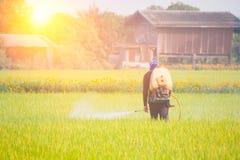 Farmer που ψεκάζει το φυτοφάρμακο στον τομέα ρυζιού στοκ εικόνες