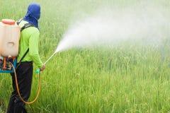 Farmer που ψεκάζει το φυτοφάρμακο στον τομέα ρυζιού στοκ εικόνα
