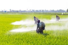 Farmer που ψεκάζει το φυτοφάρμακο στον τομέα ρυζιού στοκ φωτογραφία