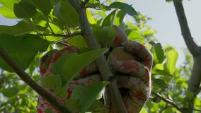 Farmer στα γάντια που επιλέγουν τα μήλα από το δέντρο απόθεμα βίντεο