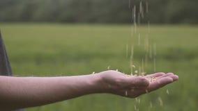 Farmer στο ελεγμένο πουκάμισο που χύνει το άσπρο ρύζι από το χέρι στο χέρι Σφίγγει την πυγμή του Farmer που χύνει στον ώριμο σίτο απόθεμα βίντεο