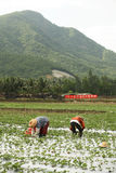 Farmer. The chinese farmer working on field Royalty Free Stock Photos