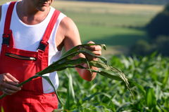 Farmer. Inspecting his crops stock image