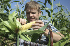 Farmer. Collects get younger corn in basket Stock Photography
