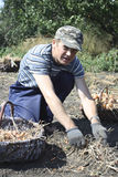 Farmer. Onion-seedling.  Farmer collects harvest Stock Photos