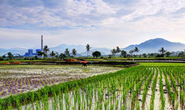Farmer activity in the rice field. An usual farmer activity in the morning Stock Photos