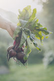Farmer Adult Man Holding Fresh Tasty Beetroots in Garden Morning. Closeup of Man Farmer Hand Holding Fresh Ripe Beetroots in Garden DayLight Healthy Life Autumn Royalty Free Stock Photo