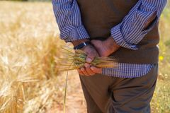 Farmer or agriculturist man holding some wheat ears. Behind his back in field and walking along the way on the border of field royalty free stock photos