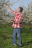 Farmer or agronomist in blooming plum orchard. Agronomist or farmer examine blooming plum trees in orchard using tablet Royalty Free Stock Image
