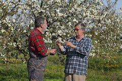 Farmer and agronomist in blossoming cherry orchard Royalty Free Stock Images