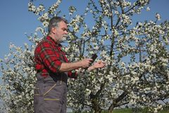 Farmer or agronomist in blossoming plum orchard. Agronomist and farmer examining blooming cherry trees in orchard, using tablet Royalty Free Stock Image