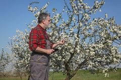 Farmer or agronomist in blossoming plum orchard. Agronomist and farmer examining blooming cherry trees in orchard, using tablet Royalty Free Stock Photography