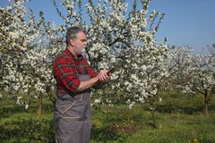 Farmer or agronomist in blossoming plum orchard. Agronomist and farmer examine blooming cherry trees in orchard and writing Stock Image