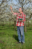 Farmer or agronomist in blossoming plum orchard Royalty Free Stock Image