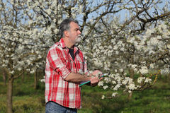 Farmer or agronomist in blossoming plum orchard Royalty Free Stock Photos