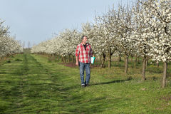 Farmer or agronomist in blossoming plum orchard Stock Photography