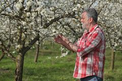 Farmer or agronomist in blossoming plum orchard. Agronomist or farmer examine blooming plum trees in orchard, spring time Stock Photos