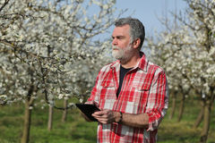 Farmer or agronomist in blossoming plum orchard Stock Image