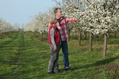 Farmer and agronomist in blossoming plum orchard. Agronomist and farmer examining blooming plum trees in orchard, spring time Stock Photography