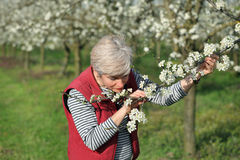 Farmer or agronomist in blossoming plum orchard Royalty Free Stock Photo