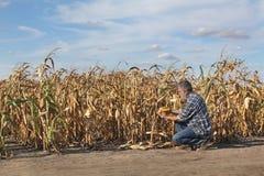 Farmer examining corn crop in field. Farmer or agronomist examining corn plant in field after drought, harvest time Royalty Free Stock Photo