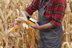 Farmer examining corn crop in field Royalty Free Stock Photo