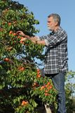 Farmer picking apricot fruit in orchard. Farmer or agronomist examining and picking apricot fruit from tree in orchard Stock Photos