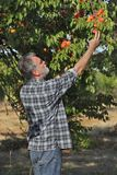 Farmer picking apricot fruit in orchard. Farmer or agronomist examining and picking apricot fruit from tree in orchard Royalty Free Stock Photos