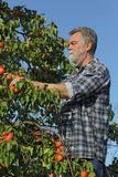 Farmer picking apricot fruit in orchard from ladder. Farmer or agronomist examining and picking apricot fruit from tree in orchard Royalty Free Stock Photography