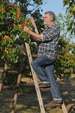 Farmer picking apricot fruit in orchard from ladder. Farmer or agronomist examining and picking apricot fruit from tree in orchard Royalty Free Stock Image