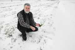 Agriculture, farmer inspecting wheat plant in field. Farmer or agronomist examining quality of wheat under snow in winter Royalty Free Stock Photos