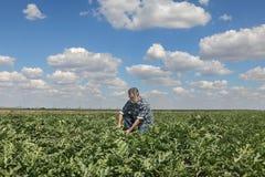 Farmer in watermelon field examining crop. Farmer or agronomist examining watermelon fruit and plant in field Royalty Free Stock Photo