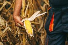 Farmer agronomist holding corn ear on the cob Stock Photo