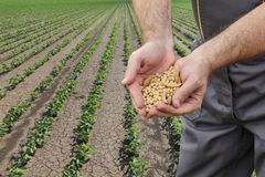 Agricultural concept, farmer crop and field. Farmer or agronomist holding handful of soybean crop in green field Royalty Free Stock Photos