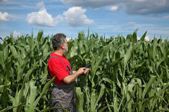 Farmer or agronomist inspect corn field using tablet Royalty Free Stock Photography