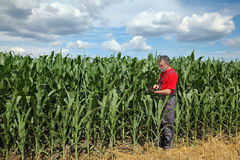 Farmer or agronomist inspect corn field using tablet Stock Images